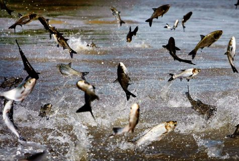 Asian Carp in the Great Lakes