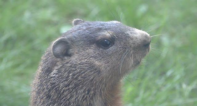 Groundhog Outside of EMS